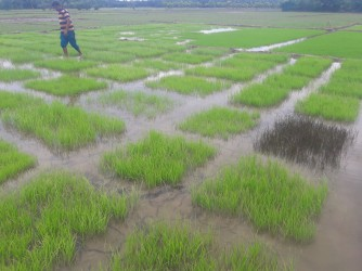Farmers Led Applied Research (Local Rice-134 variety)